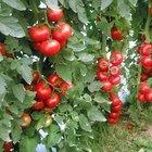 40 kuruşa kadar düşen domates çiftçinin elinde kaldı