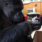 Goril Koko, yavru kedilere annelik yapacak