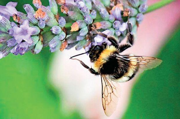 Arılar da güne kafeinsiz başlamıyor