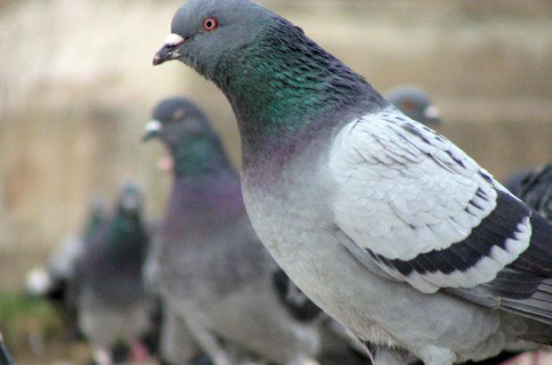 Kanser, güvercin, Richard Levenson, Kaliforniya Üniversitesi