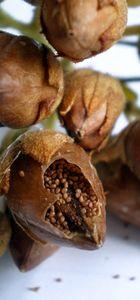 Tütün tohumuna ihraç imkanı