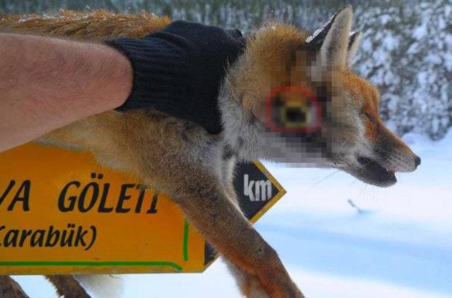Karabük'te silahla vurdukları tilkiyi tabelaya astılar