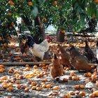 Bodrum'da tonlarca mandalina yerlere döküldü
