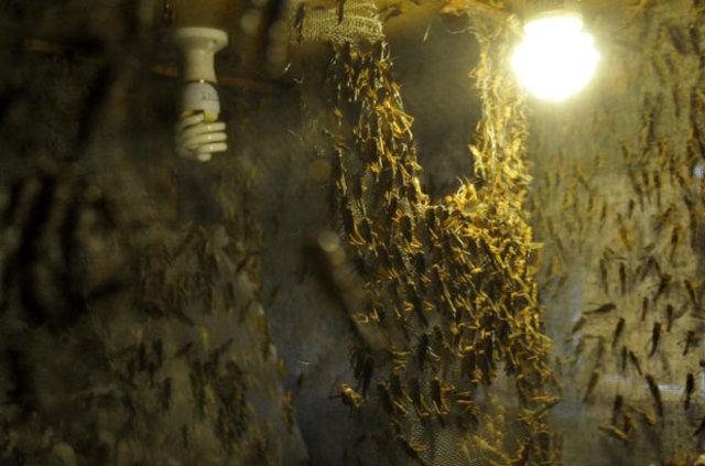 Antalya'da canlı böcek üretim çiftlikleri taleplere yetişmeye çalışıyor