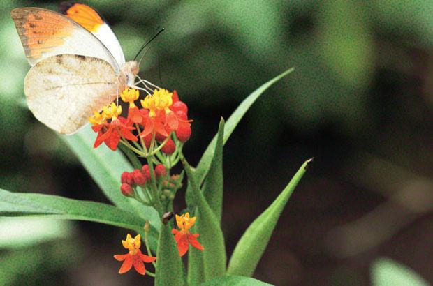 420 tür kelebekle Avrupa'dan zenginiz