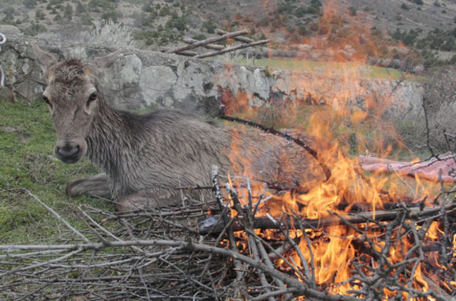 Ankara'da havuza düşen gebe geyik kurtarıldı