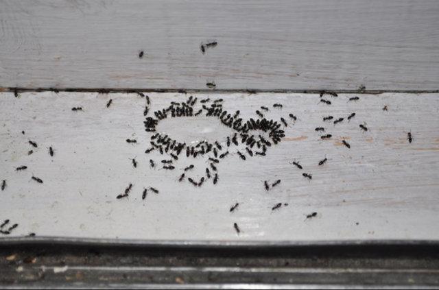 Karıncalardan kurtulmanın doğal yolları...