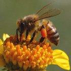 Uludağ'da katil arılar kestane ağaçlarının yüzde yirmisini kuruttu