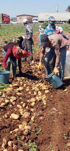 Patatesin fiyatı geçen yıla göre 6 kat düştü