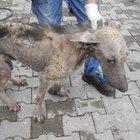 Zonguldak'ta uyuz nedeniyle aşırı zayıflayan köpek hayata tutundu