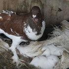 Edirne'de tavşan yavrularını güvercin sahiplendi