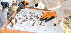 700 bin kırmızı orman karıncası taşındı
