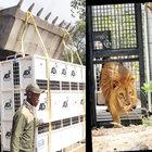 Sirklerden kurtarılan 33 aslan doğaya döndü