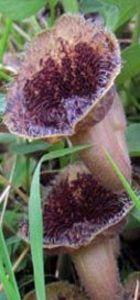 Dünyada sadece Samsun'da bulunan bitki: Samsun Lohusaotu