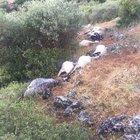 İzmir'de sürüye yıldırım düştü! 32 koyun telef oldu