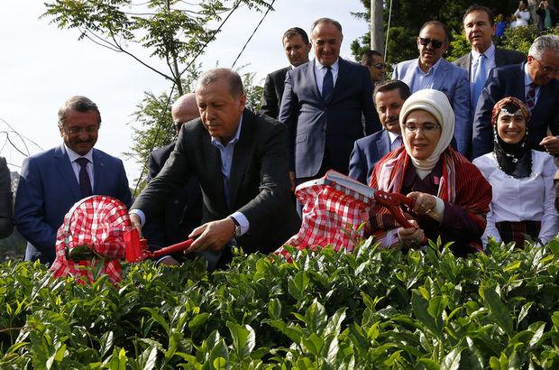 Cumhurbaşkanı Erdoğan Rize'de çay topladı