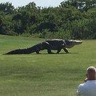 Golf sahasında dev timsah!