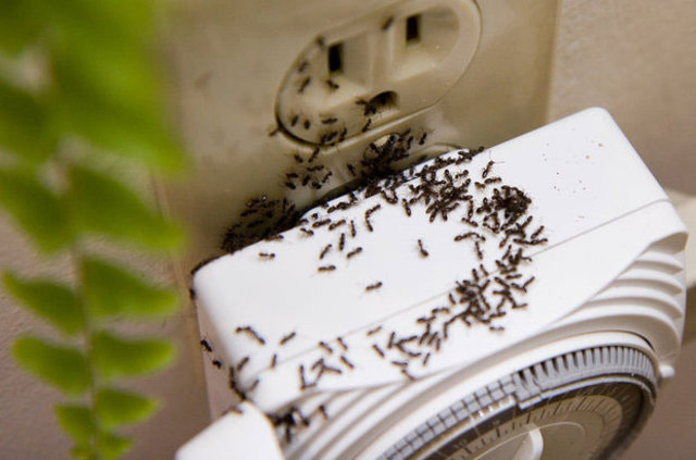 Evde karınca nasıl gider? İşte en etkili karınca ilacı