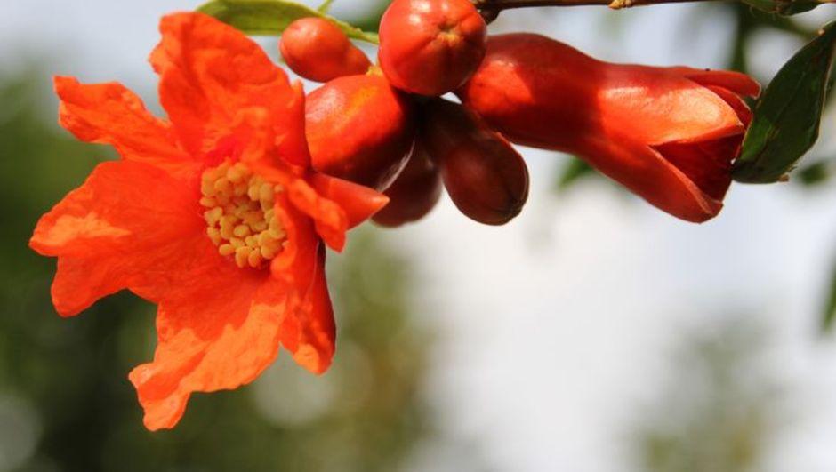 Nar çiçeği çayı