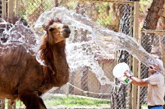 Hayvanlar buzlu meyve ve suyla serinliyor