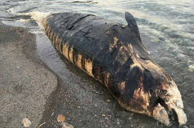 Antalya'da ölü gagalı balina kıyıya vurdu