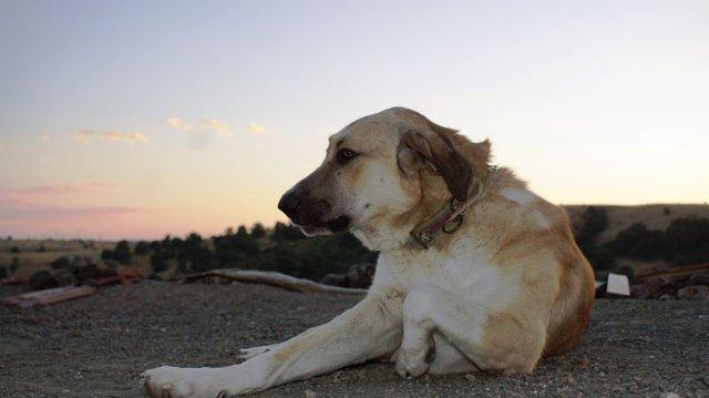 Köpekler insan konuşmasını düşündüğümüzden daha çok anlıyor!