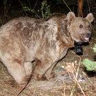 Sarıkamış'ta dünyanın göç eden tek boz ayıları keşfedildi