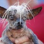 İşte dünyanın en çirkin köpeği
