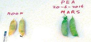 Marslı 10 çeşit yenilebilen sebze müjdesi