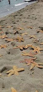 Kumbağ'da yüzlerce ölü deniz yıldızı karaya vurdu
