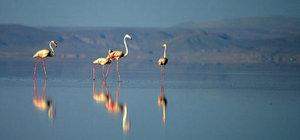 """Tuz Gölü'nde """"flamingo kreşi"""""""