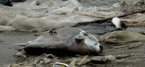 Vietnam'da toplu balık ölümleri