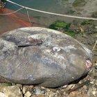 Gemlik´te dev ay balığı yakalandı