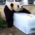 Çin'de dev pandaya 200 kiloluk buz bloku