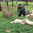 Hayvan bakıcısı, leoparın saldırısından kaplan sayesinde kurtuldu