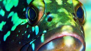 Orfoz balığı için av yasağı