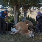 Yıldırım isabet edince ölen ineklerine sarılıp gözyaşı döktüler