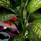 'Ağlayan çiçek' olarak bilinen Difenbahya çiçeği için zehirlenme uyarısı