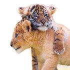 Aslanla kaplanın sevimli arkadaşlığı