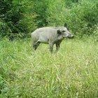 Fethiye'de aç kalan yaban domuzları ilçe merkezine indi