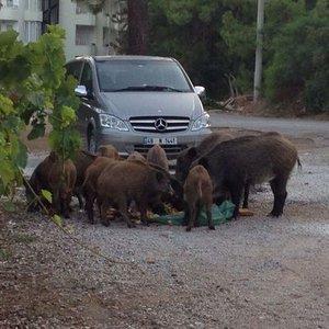Aç kalan domuzlar şehre indi! Polis memuruna saldırdı