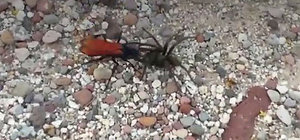 Tarantula en büyük kabusuyla karşılaşınca