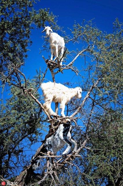 Keçiler Argan ağacının tepesinde görüntülendi