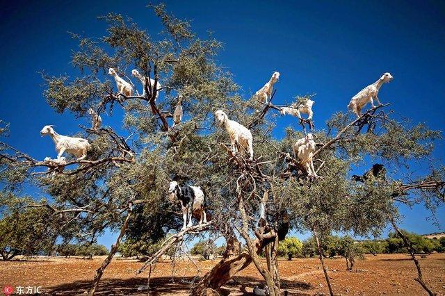 Keçi ağacı!