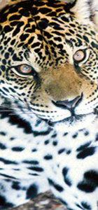 Zürafa Şakir'den sonra şimdi sıra jaguar Hasret'e geldi!
