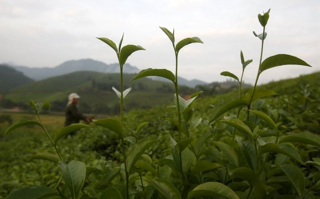 Yeşil çayın faydaları nelerdir?