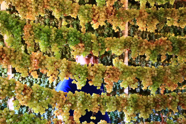 """Torosların """"gök üzümü"""" tavan arasında """"yeşilleniyor"""""""