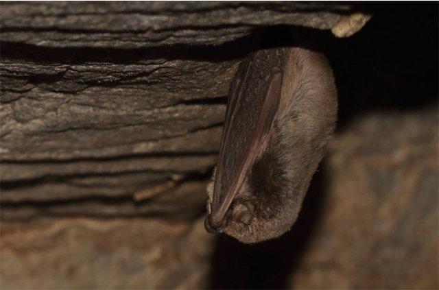 Hatay'da nesli tehlike altında olan üç yarasa türüne rastlandı