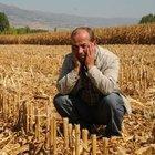 15 dönümlük mısırı hasat ederek çaldılar