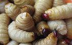 Kulağından tam 14 tane sinek larvası çıkardılar!